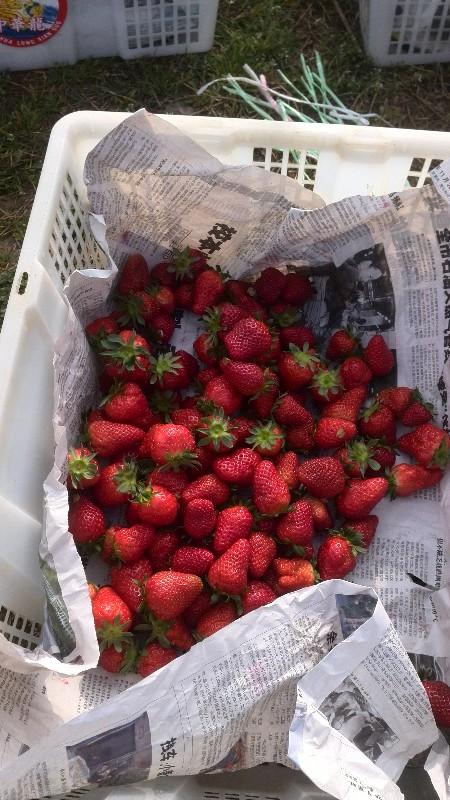草莓缘 草莓采摘 农家饭