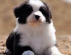 专业繁殖精品边境犬 疫苗齐全 保纯保健康 签协议