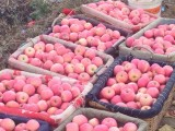 胶东水晶富士大量上市 苹果个大透亮 表光甚好 口感上等