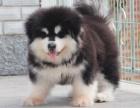 巨型阿拉斯加幼崽,黑色,红色都有,可上门当面选狗狗