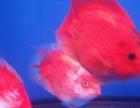 15厘米红白花元宝鹦鹉1对和纯紅鹦鹉鱼1对,可换,可售