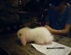 纯种荷兰垂耳兔mm