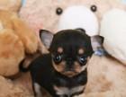 哪里有卖吉娃娃犬 吉娃娃多少钱一只 北京出售吉娃娃犬