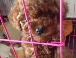 正规狗场繁殖纯种 泰迪 多窝可挑选 品质有保障
