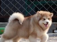 重庆出售纯种阿拉斯加犬 自家养殖的 当面测试 同城免费送狗