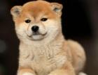 白沙哪里卖柴犬 柴犬价格 柴犬哪里有