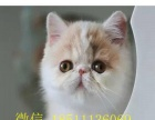 CFA顶级加菲猫 大脸盘 水滴眼 公母均有 保健康