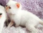 无锡家养纯白和重点色加菲猫包一年猫瘟 可见猫妈妈 加我看视频