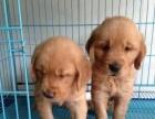 楚雄金毛犬专卖幼犬照片价格