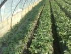 超甜草莓采摘园
