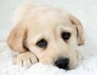 優良血統 純種拉布拉多犬 健康 活潑 已疫苗驅蟲