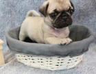 精品巴哥幼犬一证书齐全一血统纯正送用品签协议