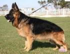 出售纯种牧羊犬 黑背犬 品质好信誉高质量保