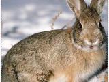 资阳安岳厂家直销比利时种兔肉兔养殖市场前景分析比利时兔散养技