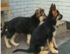 纯种血统赛级德国牧羊犬德牧幼犬全国发货包邮