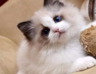 热门推荐 布偶猫 无病无癣 健康质保