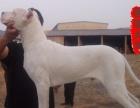 4个月的杜高犬2500元(公母均有)犬舍