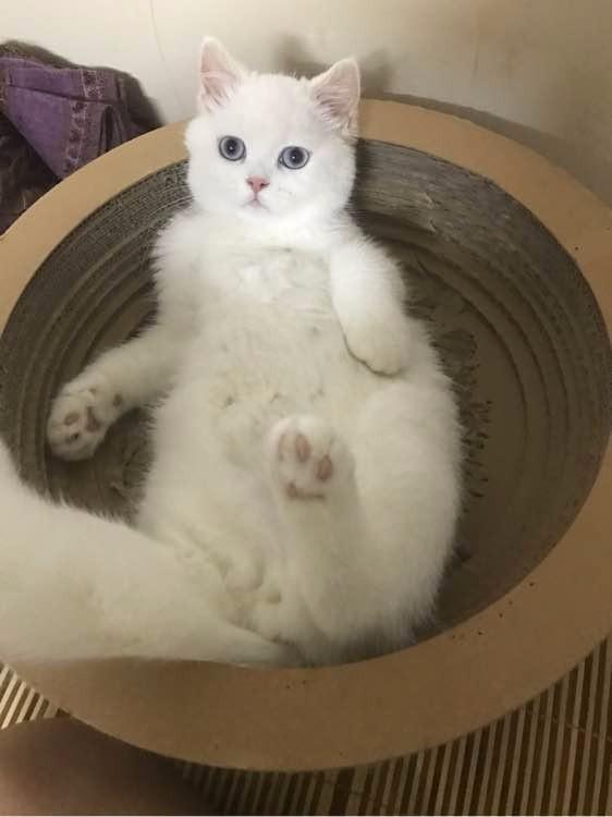 自家精心打造的渐层弟弟妹妹 疫苗齐全 自己会吃猫粮用猫砂