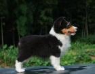 沈阳 出售2到4个月喜乐蒂犬 包健康纯种!