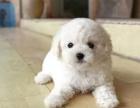 重庆比熊犬多少钱 重庆哪里出售比熊犬