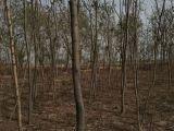 火炬树 火炬树价格 速生柳 园林绿化苗木