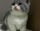 正规猫舍 专业繁殖 英短加白 英短蓝猫 纯种健康