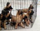 老a犬舍 北京哪里有卖马犬的 北京马犬幼犬什么价格