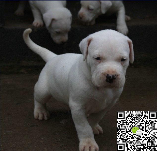 纯种杜高犬价格 纯种杜高犬多少钱
