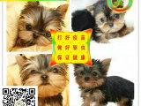 约克夏幼犬真正的贵族爱犬,能配的上你身份的爱犬