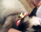 暹罗猫,一年的猫,特别懂事,吃的也不多,特别听话!