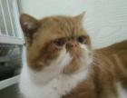 江都小雅猫屋常年销售多种宠物猫