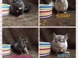出售家养龙猫宝宝各颜色