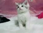 各类精品品种猫 英短 美短 加菲均有