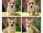 高端品质柯基犬 两色三色柯基幼犬签质保包健康终身