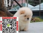 临沂松狮图片价格 松狮幼犬宠物狗养殖基地 松狮领养赠送