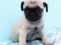 广州本地犬舍繁殖精品巴哥,可上门亲自挑选,多只可选择,品种多