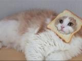 幼年山東獅子貓顏值高又身體好,做好這三點它的顏值不輸布偶貓