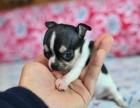 狗市可以买到纯种吉娃娃吗 多少钱一只