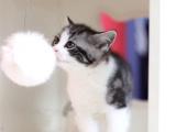 北京大兴蓝白猫幼崽多少钱