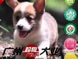 广州哪里卖柯基犬纯种柯基多少钱 哪里有柯基出售