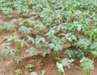 黄秋葵,红秋葵农家自种