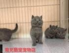 南充酷宠宠物店现货纯种蓝猫 2200元