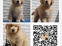 出售纯种金毛犬 自产自销 签协议 面对面交易