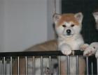 纯种秋田犬,血统正宗品相好,疫苗齐全包纯种健康