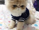 成都哪里有大脸加菲猫出售纯种品相极好超萌高贵优雅长短毛都有