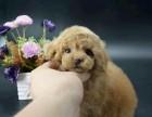 聪明可爱-纯种泰迪犬 健康包终身,可以先检查 可便宜