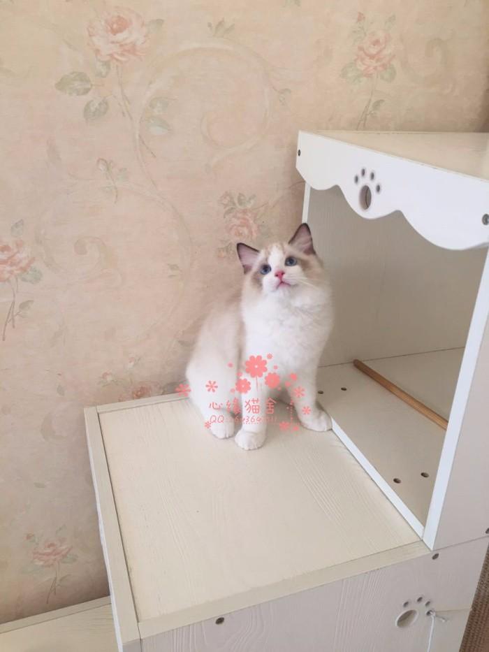 南宁哪里有正规宠物店买卖布偶猫 南宁较便宜布偶猫多少钱