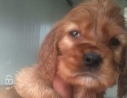 出售可卡两个多月可卡幼犬