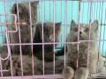 两窝蓝猫便宜卖了