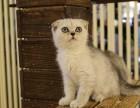 重庆折耳猫怎么卖的重庆最好的折耳猫要多少钱重庆哪里有猫舍